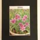 Matted Print - 8x10 - Flower - Babiana