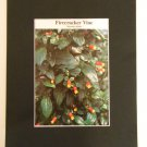 Matted Print - 8x10 - Plant – Firecracker Plant