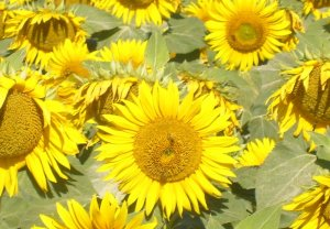 new postcard: sunflowers,bulgaria 15x10