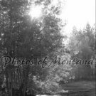 8x10 Photo ~ Black & White #004 Sun shining through the trees