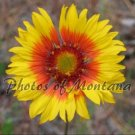 8x10 Photo ~ Flowers #002 Brown-Eyed Susan - Blanket Flower