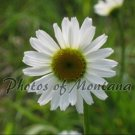 8x10 Photo ~ Flowers #001 Daisy