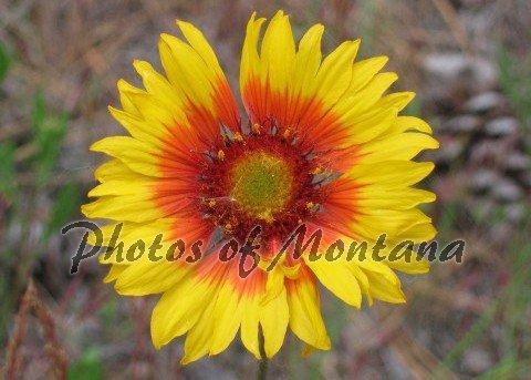 5x7 Photo ~ Flowers #002 Brown-Eyed Susan - Blanket Flower