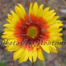 5x7 Photo ~ Flowers #002 Brown-Eyed Susan - Blanket Flower