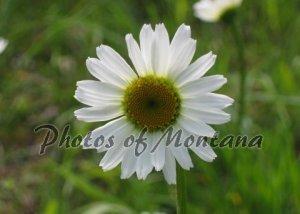 5x7 Photo ~ Flowers #001 Daisy
