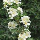 4x6 Photo ~ Flowers #003 Syringa