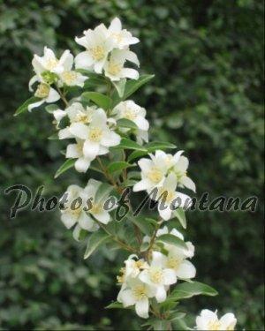8x10 Photo ~ Flowers #003 Syringa