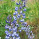 4x6 Photo ~ Flowers #004 Lupine