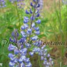 8x10 Photo ~ Flowers #004 Lupine