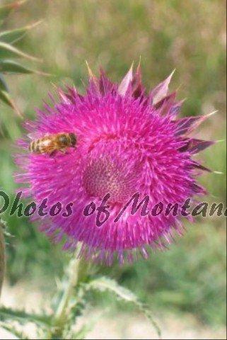 4x6 Photo ~ Flowers #005 Honeybee on Thistle