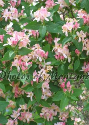 5x7 Photo ~ Flowers #006 flowering bush - pink flowers