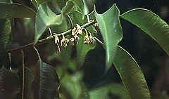Bakula (Mimosops Elengi)
