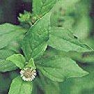 Bhringraj (Eclipta alba)