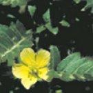 Gokshur (Tribulus terrestris)