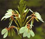 Kapur kachri (Hedichium spicatium)