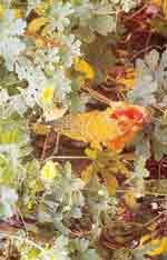 Karela (Momordica charantia)