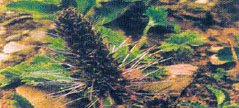 Kutki (Picrorhiza kurroa)