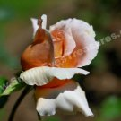 Macro Peach Rosebud Digital Flower Photo 5x7