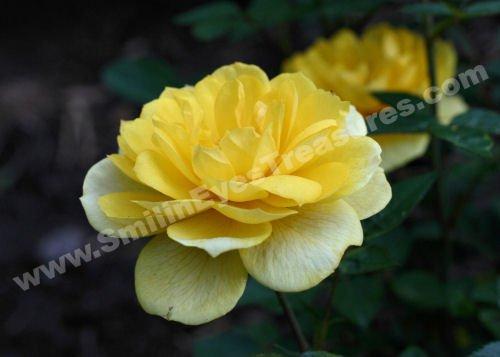 Yellow Rose In Bloom Digital Flower Photo 5x7