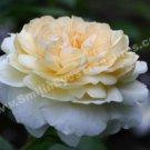 Macro Pale Yellow Rose In Bloom Digital Flower Photo 5x7