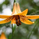 Macro Wild Canadian Lily Digital Flower Photo 5x7
