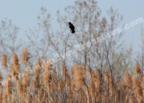 Solitary Red Winged Blackbird Digital Nature Photo 5x7