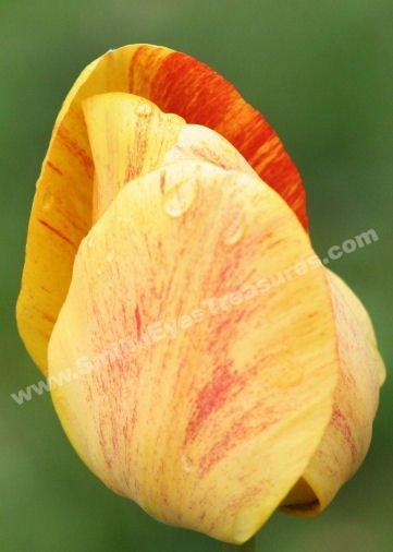 Macro Yellow Tulip Petals Digital Flower Photo 5x7