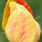 Macro Yellow Tulip Petals Digital Flower Photo 5x7