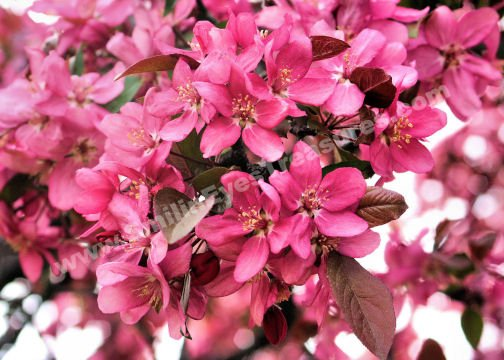 Pink Crab Apple Blossoms Digital Flower Photo 5x7