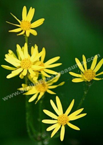 Dreamy Yellow Daisies Digital Flower Photo 5x7