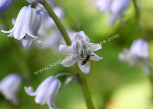 Tiny Bee On Bluebell Digital Flower Photo 5x7
