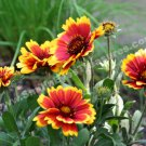 Red And Yellow Daisies Digital Flower Photo 5x7