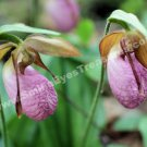 Wild Pink Lady Slipper Pair Digital Flower Photo 5x7