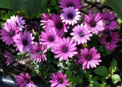 Purple African Daisies Digital Flower Photo 5x7