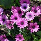 Purple African Daisies Digital Flower Photo 5x7