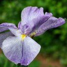 Purple Japanese Iris Unfolding Digital Flower Photo 5x7
