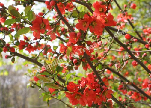 Red Spring Blossoms Digital Flower Photo 5x7