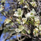 White Dogwood Blossoms Digital Flower Photo 5x7