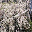 Cascade Of White Spring Blossoms Digital Flower Photo 5x7