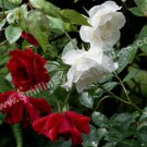 Drenched Red And White Roses Digital Flower Photo 5x7