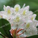 Macro White Azalea Digital Flower Photo 5x7