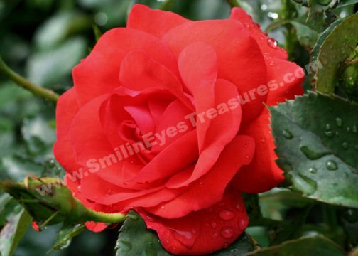 Macro Red Rose And Raindrops Digital Flower Photo 5x7