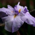Macro Purple Japanese Iris Digital Flower Photo 5x7
