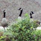 Canada Goose Trio Digital Wildlife Photo 5x7