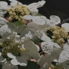 White Lace Cap Hydrangeas Digital Flower Photo 5x7