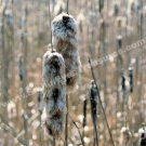 Faded Cattails Digital File Nature Photo 5x7