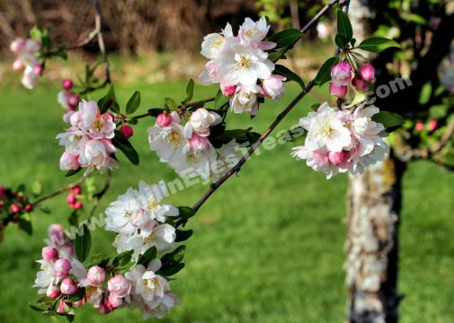 Pink And White Spring Blossoms Digital Flower Photo 5x7