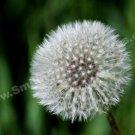 Macro Fluffy Dandelion Digital File Flower Photo 5x7