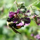 Macro Bumble Bee On Flower Digital File Nature Photo 5x7