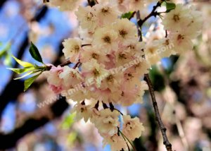 Delicate Pale Pink Spring Blossoms Digital Flower Photo 5x7